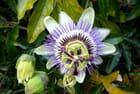 Joli portrait de fleur de la passion
