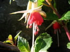 Jolie fleur de fuchsia