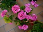 Jolie potée de géranium rose