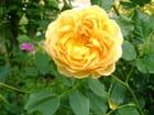 Jolie rose