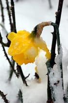 Jonquille sous la neige