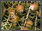 Juniperus oxycedrus (Genevrier cade)