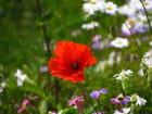 Juste un petit coquelicot parmi les fleurs
