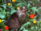 Kitty parmi les tulipes