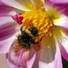L'abeille et le dahlia