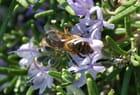 L'abeille et le romarin