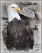 L'aigle royal 2