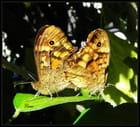 l'amour papillon