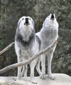 L'appel des louves