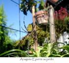 l'araignée Epeirre au jardin