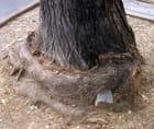 """L'arbre""""animal"""" mangeur de pavé"""