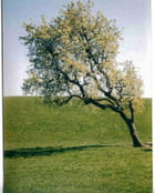 L'arbre penché