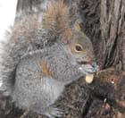 L'écureuil et l'arachide