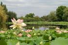 L'étang aux lotus...