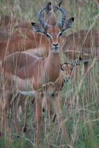 L'impala