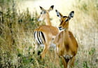 L'impala au regard doux et confiant...