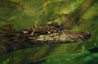 L'oeil du crocodile