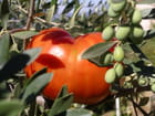 l'olivier fait aussi.....des tomates!