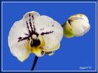 L'orchidée et le bouton