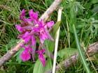 La beauté d'une orchidée de la Lessinia