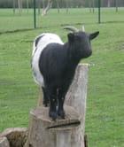 La chèvre perchée