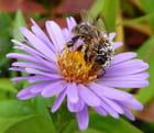 La collecte de l'abeille