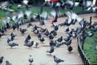 La course aux pigeons