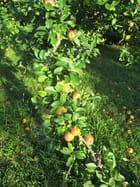 La cueillette des pommes se prépare