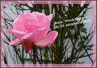 La dernière rose de l'année 2011