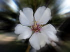 La fleur d'amandier
