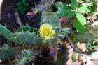 la fleur du figuierde barbarie