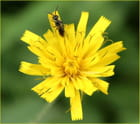 La fleur & la fourmi