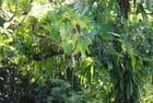 la forêt compacte de la Dominique