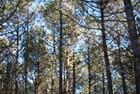 La forêt de pins