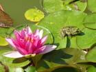 La grenouille et le nénuphar