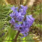 La jacinthe bleue
