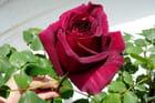 La main et la rose