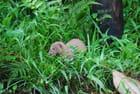 la mangouste