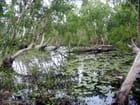 La mangrove,  paradis