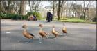 La marche des canards...