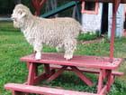 La petite chèvre de Searsport