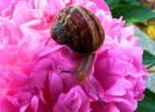 La pivoine et l'escargot