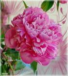 La pivoine rose .. (Francine)