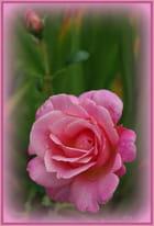 La rose après la pluie