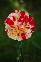 la rose bicolore