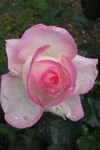 La rose est du matin...