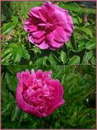 La rose et la pivoine