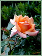 La rose  et le bouton
