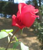 La rose Konrad Adenauer
