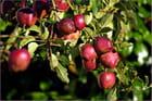 La saison des pommes
